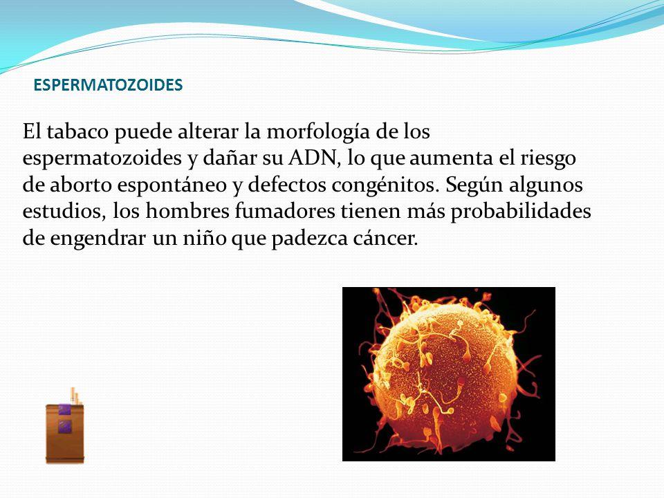 ESPERMATOZOIDES El tabaco puede alterar la morfología de los espermatozoides y dañar su ADN, lo que aumenta el riesgo de aborto espontáneo y defectos