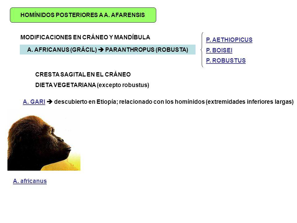 HOMÍNIDOS POSTERIORES A A.AFARENSIS MODIFICACIONES EN CRÁNEO Y MANDÍBULA A.