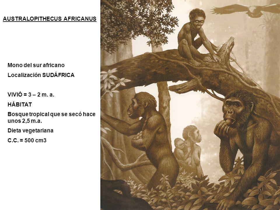 AUSTRALOPITHECUS AFRICANUS Mono del sur africano Localización SUDÁFRICA VIVIÓ = 3 – 2 m. a. HÁBITAT Bosque tropical que se secó hace unos 2,5 m.a. Die