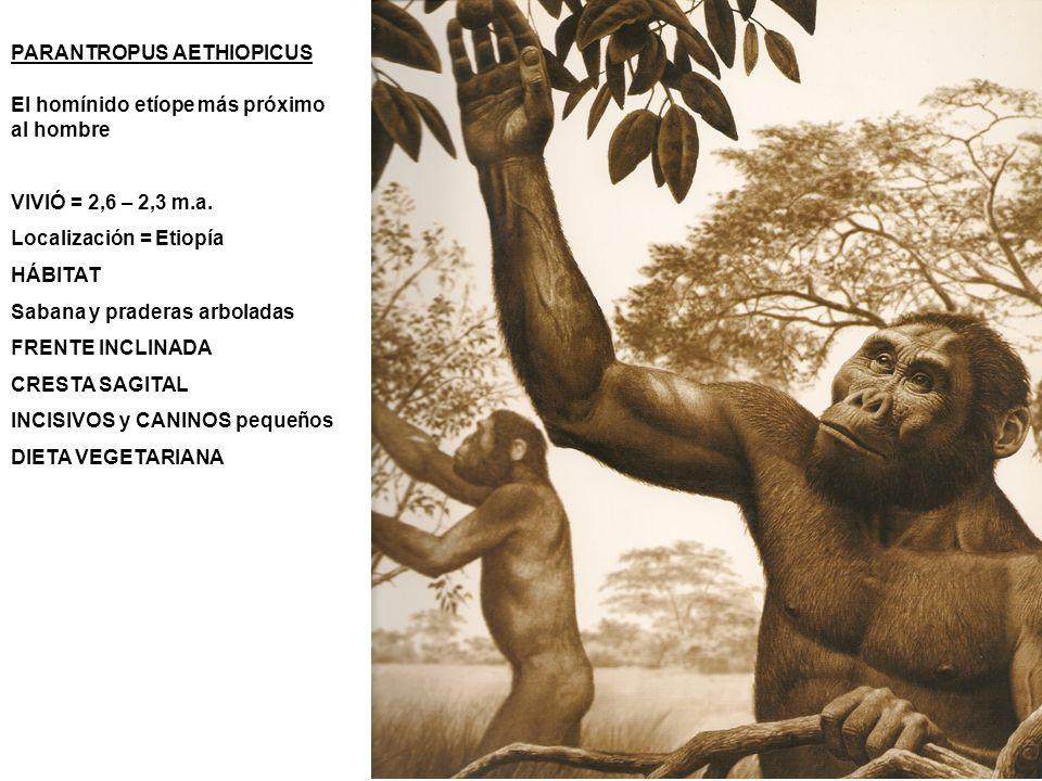 PARANTROPUS AETHIOPICUS El homínido etíope más próximo al hombre VIVIÓ = 2,6 – 2,3 m.a. Localización = Etiopía HÁBITAT Sabana y praderas arboladas FRE