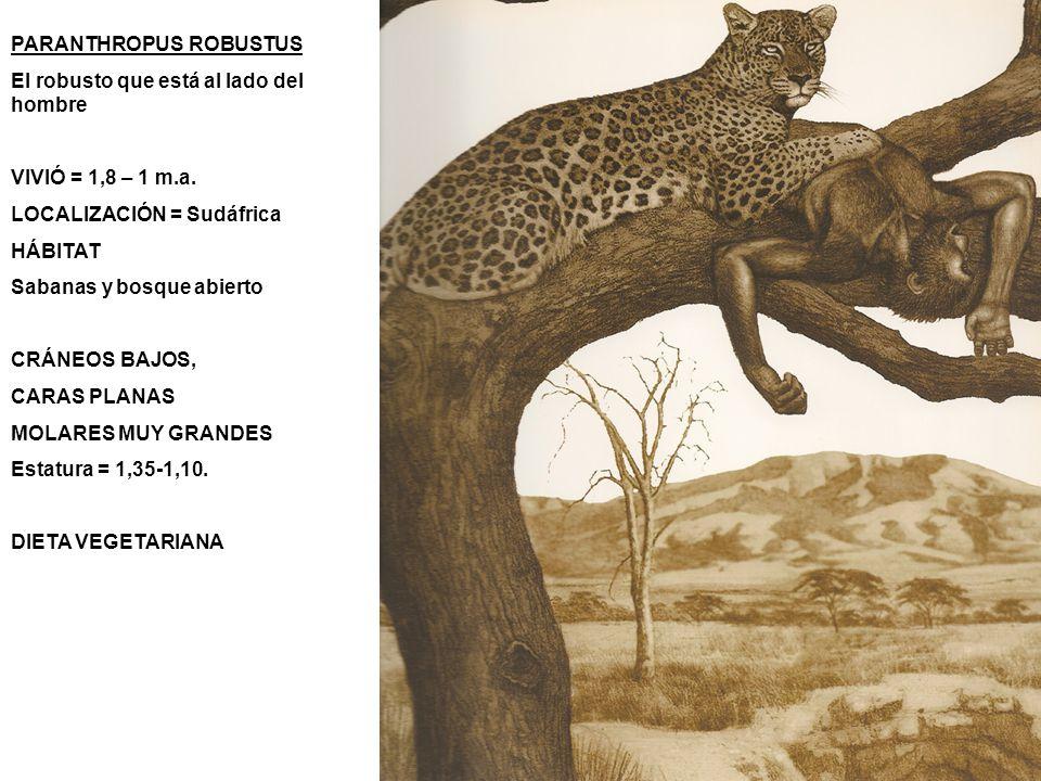 PARANTHROPUS ROBUSTUS El robusto que está al lado del hombre VIVIÓ = 1,8 – 1 m.a. LOCALIZACIÓN = Sudáfrica HÁBITAT Sabanas y bosque abierto CRÁNEOS BA