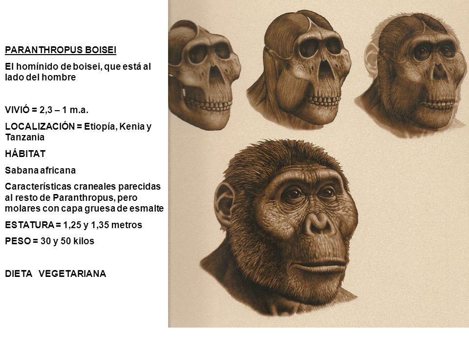 PARANTHROPUS BOISEI El homínido de boisei, que está al lado del hombre VIVIÓ = 2,3 – 1 m.a. LOCALIZACIÓN = Etiopía, Kenia y Tanzania HÁBITAT Sabana af