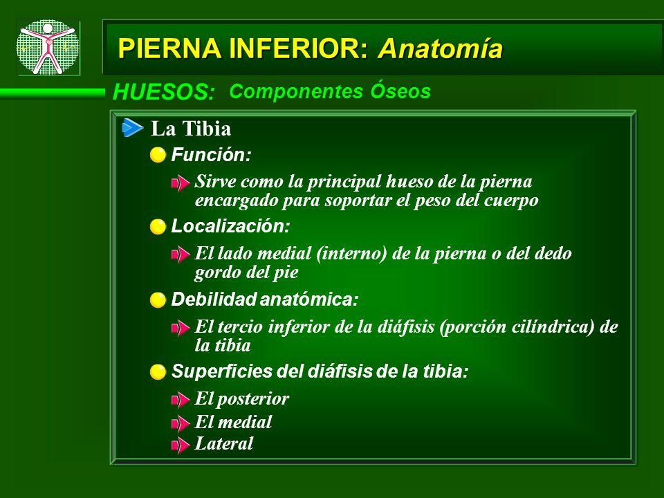 HUESOS: Componentes Óseos PIERNA INFERIOR: Anatomía La Tibia Función: Sirve como la principal hueso de la pierna encargado para soportar el peso del cuerpo Localización: El lado medial (interno) de la pierna o del dedo gordo del pie Debilidad anatómica: El tercio inferior de la diáfisis (porción cilíndrica) de la tibia Superficies del diáfisis de la tibia: El posterior El medial Lateral