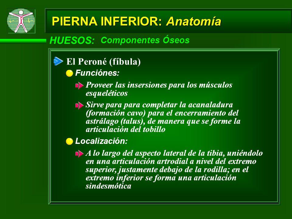 HUESOS: Componentes Óseos PIERNA INFERIOR: Anatomía El Peroné (fíbula) Funciónes: Proveer las insersiones para los músculos esqueléticos Sirve para pa