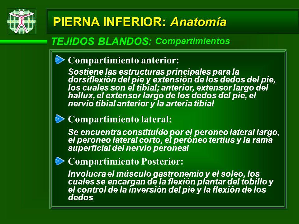 TEJIDOS BLANDOS: Compartimientos PIERNA INFERIOR: Anatomía Compartimiento anterior: Sostiene las estructuras principales para la dorsiflexión del pie y extensión de los dedos del pie, los cuales son el tibial; anterior, extensor largo del hallux, el extensor largo de los dedos del pie, el nervio tibial anterior y la arteria tibial Compartimiento lateral: Se encuentra constituído por el peroneo lateral largo, el peroneo lateral corto, el peróneo tertius y la rama superficial del nervio peroneal Compartimiento Posterior: Involucra el músculo gastronemio y el soleo, los cuales se encargan de la flexión plantar del tobillo y el control de la inversión del pie y la flexión de los dedos