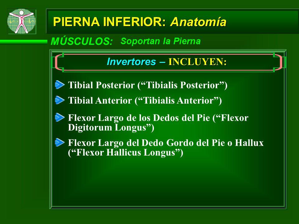 MÚSCULOS: Soportan la Pierna Invertores – INCLUYEN: Tibial Posterior (Tibialis Posterior) Tibial Anterior (Tibialis Anterior) Flexor Largo de los Dedo