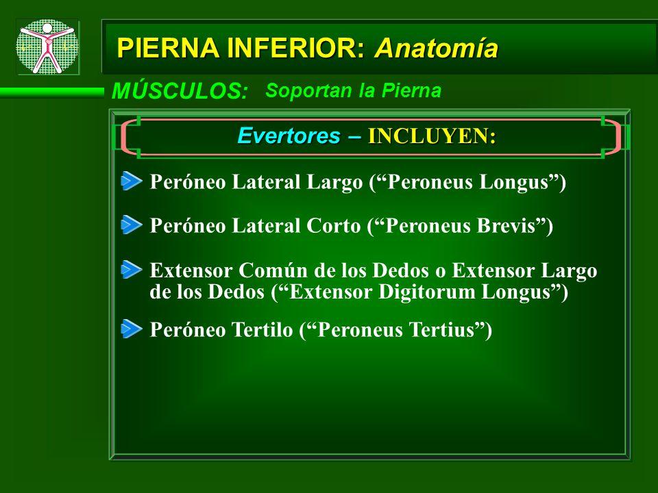 MÚSCULOS: Soportan la Pierna Evertores – INCLUYEN: Peróneo Lateral Largo (Peroneus Longus) Peróneo Lateral Corto (Peroneus Brevis) Extensor Común de l