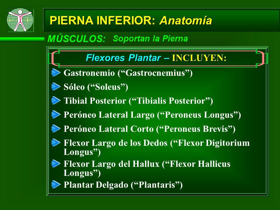 MÚSCULOS: Soportan la Pierna Flexores Plantar – INCLUYEN: Gastronemio (Gastrocnemius) Sóleo (Soleus) Tibial Posterior (Tibialis Posterior) Peróneo Lat