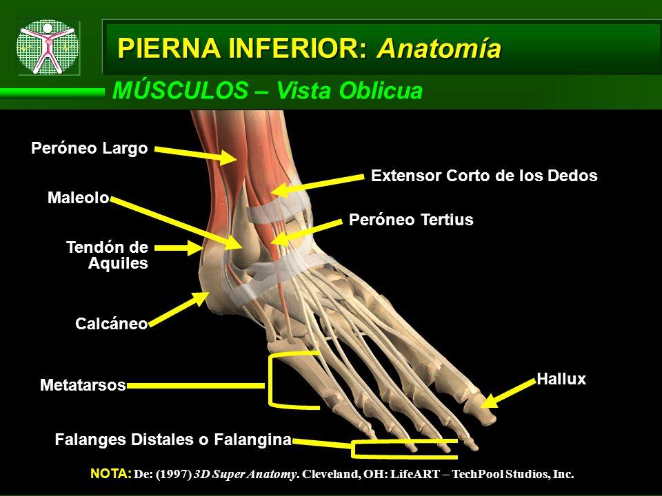 MÚSCULOS – Vista Oblicua NOTA: De: (1997) 3D Super Anatomy.