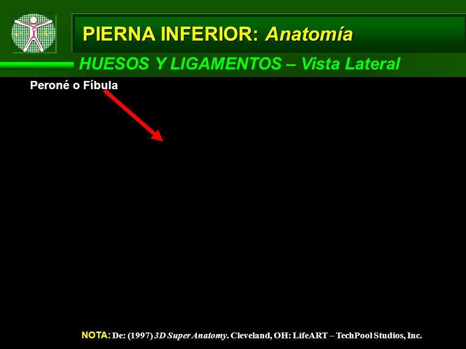 HUESOS Y LIGAMENTOS – Vista Lateral NOTA: De: (1997) 3D Super Anatomy. Cleveland, OH: LifeART – TechPool Studios, Inc. Peroné o Fíbula PIERNA INFERIOR