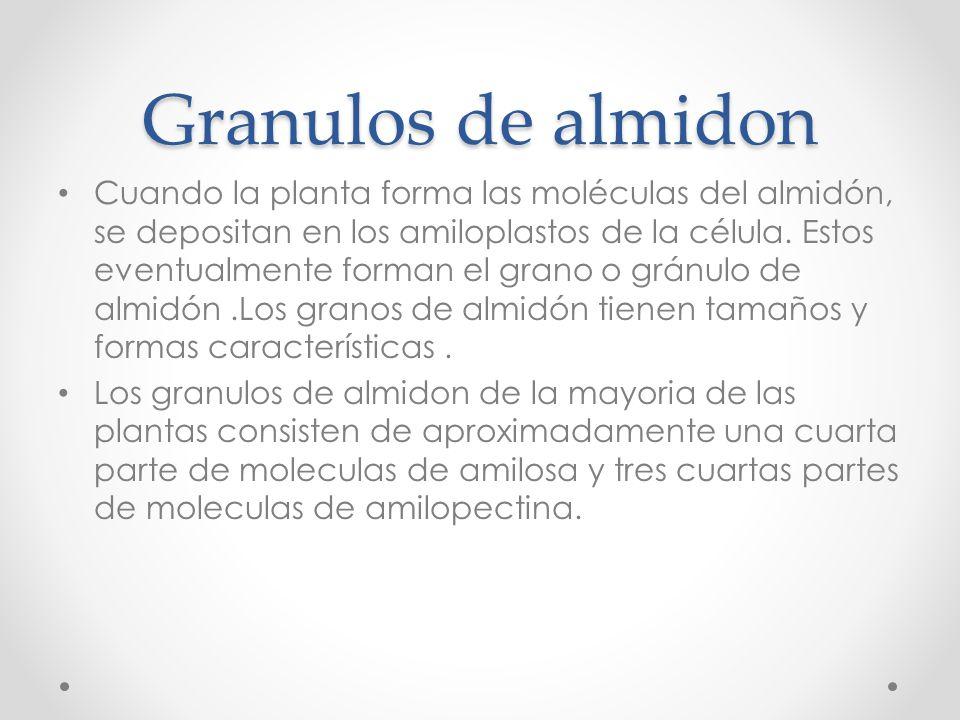 Granulos de almidon Cuando la planta forma las moléculas del almidón, se depositan en los amiloplastos de la célula. Estos eventualmente forman el gra