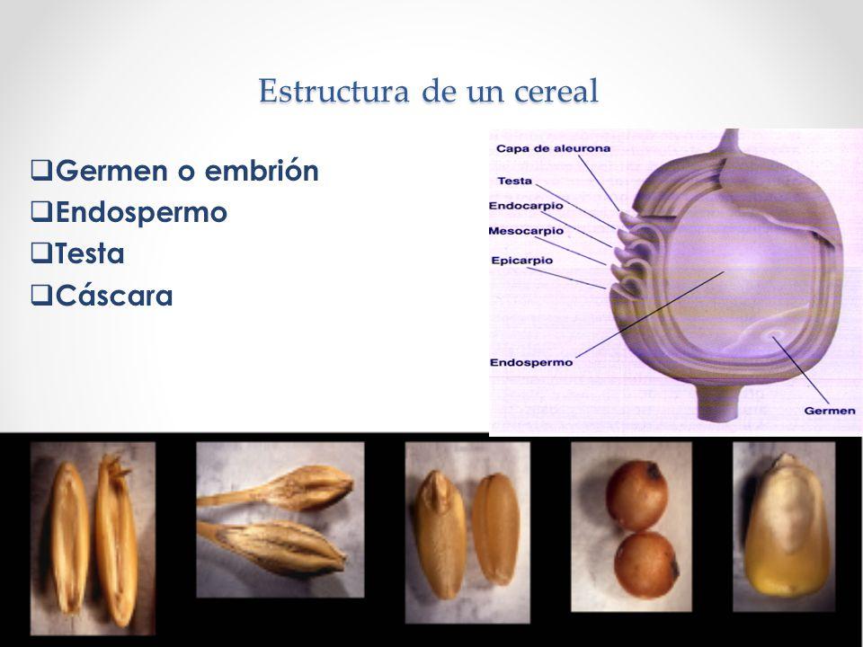Estructura de un cereal Germen o embrión Endospermo Testa Cáscara