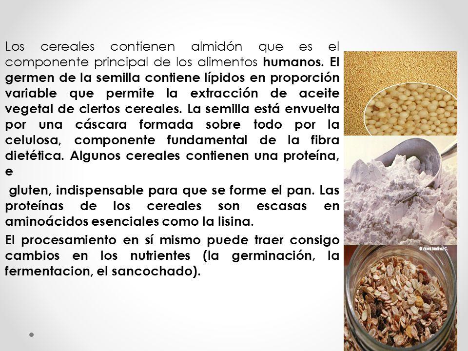 Los cereales contienen almidón que es el componente principal de los alimentos humanos. El germen de la semilla contiene lípidos en proporción variabl
