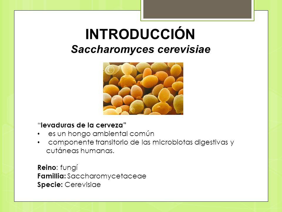 INTRODUCCIÓN Saccharomyces cerevisiae levaduras de la cerveza es un hongo ambiental común componente transitorio de las microbiotas digestivas y cután