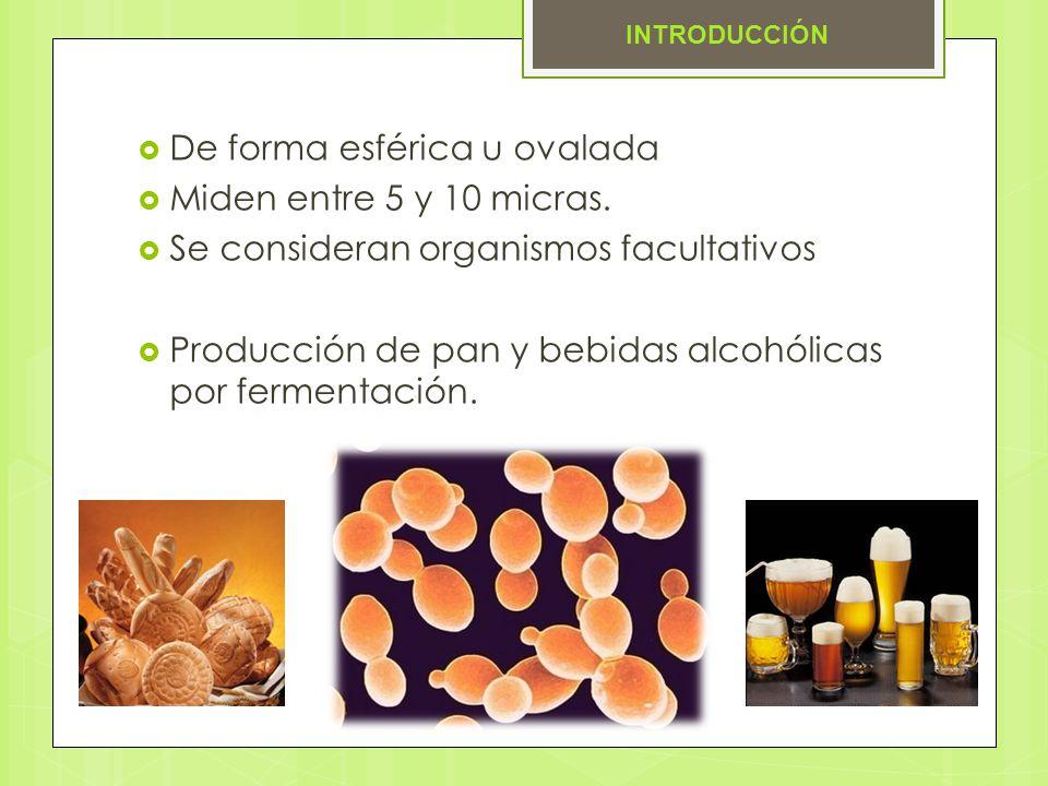 De forma esférica u ovalada Miden entre 5 y 10 micras. Se consideran organismos facultativos Producción de pan y bebidas alcohólicas por fermentación.