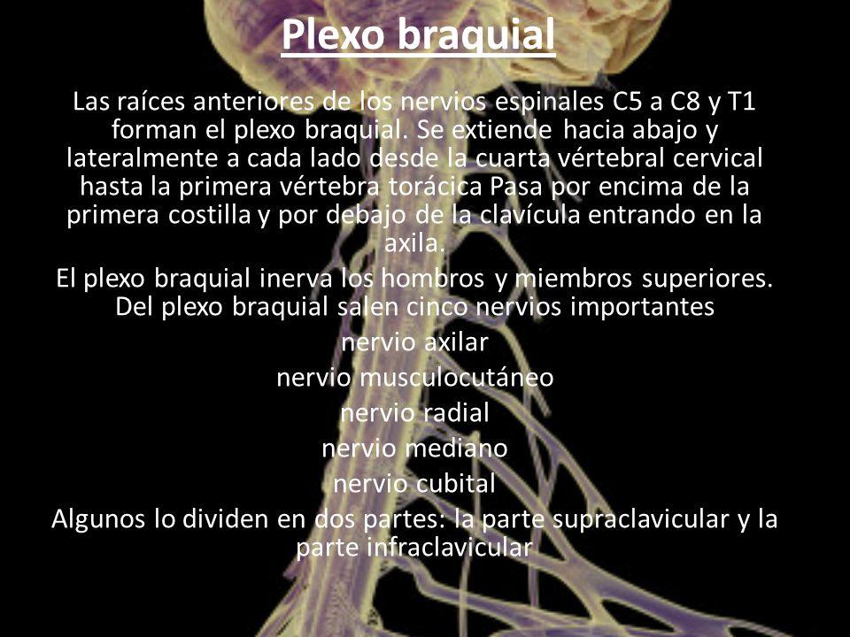 Plexo braquial Las raíces anteriores de los nervios espinales C5 a C8 y T1 forman el plexo braquial.