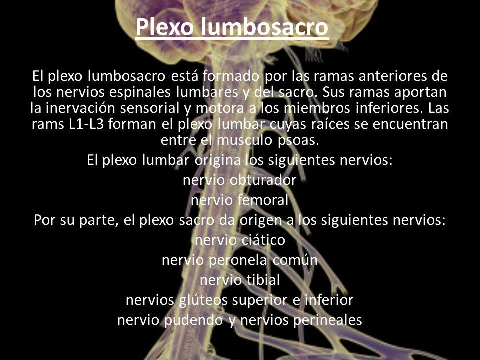 Plexo lumbosacro El plexo lumbosacro está formado por las ramas anteriores de los nervios espinales lumbares y del sacro.