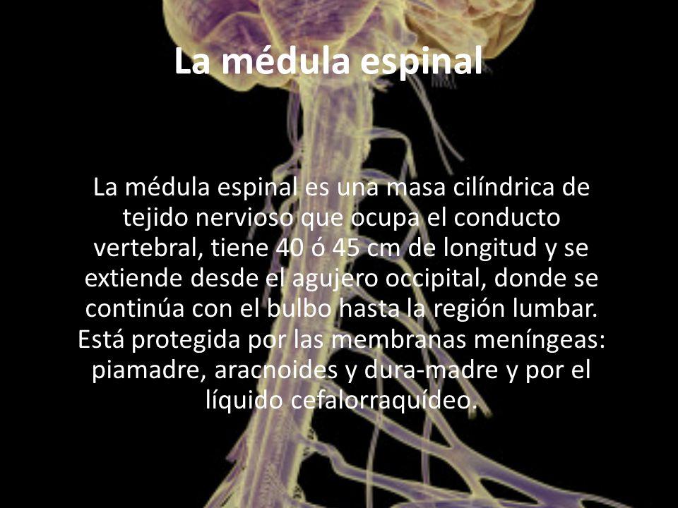 La médula espinal La médula espinal es una masa cilíndrica de tejido nervioso que ocupa el conducto vertebral, tiene 40 ó 45 cm de longitud y se extiende desde el agujero occipital, donde se continúa con el bulbo hasta la región lumbar.