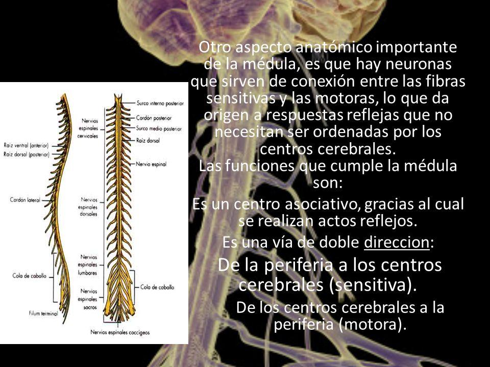 Otro aspecto anatómico importante de la médula, es que hay neuronas que sirven de conexión entre las fibras sensitivas y las motoras, lo que da origen a respuestas reflejas que no necesitan ser ordenadas por los centros cerebrales.