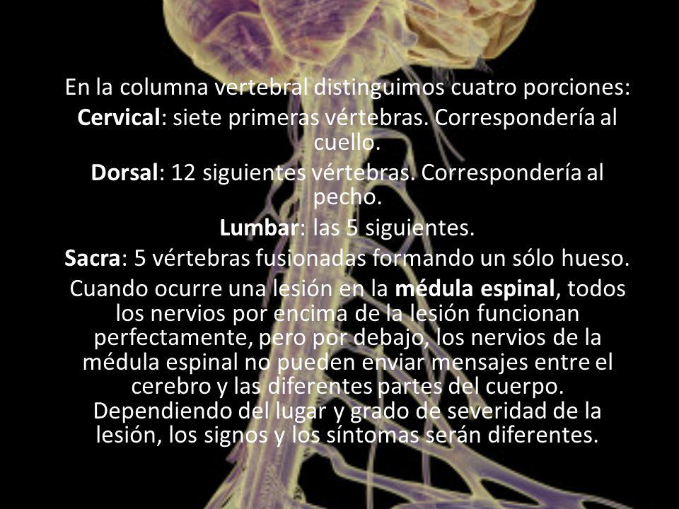 En la columna vertebral distinguimos cuatro porciones: Cervical: siete primeras vértebras.