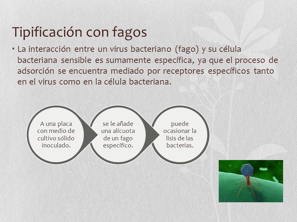 Tipificación con fagos La interacción entre un virus bacteriano (fago) y su célula bacteriana sensible es sumamente específica, ya que el proceso de adsorción se encuentra mediado por receptores específicos tanto en el virus como en la célula bacteriana.