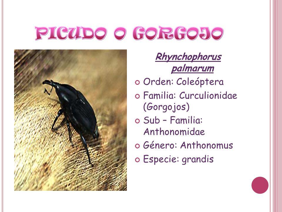 Rhynchophorus palmarum Orden: Coleóptera Familia: Curculionidae (Gorgojos) Sub – Familia: Anthonomidae Género: Anthonomus Especie: grandis