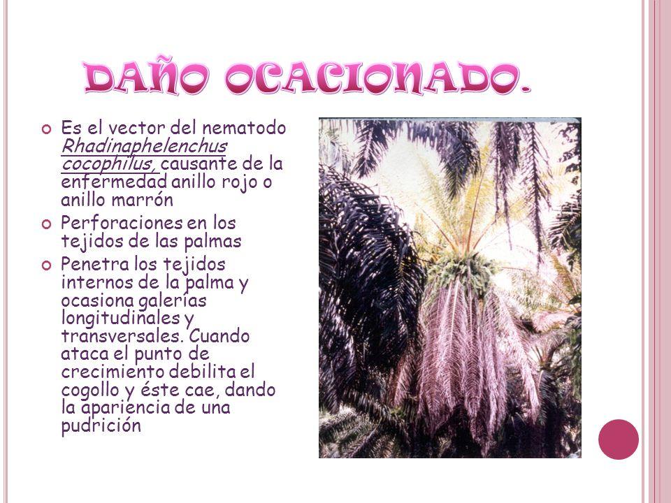 Es el vector del nematodo Rhadinaphelenchus cocophilus, causante de la enfermedad anillo rojo o anillo marrón Perforaciones en los tejidos de las palm