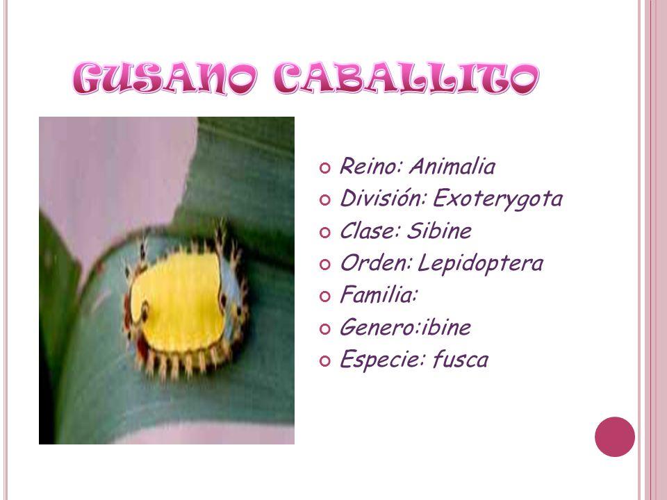 Reino: Animalia División: Exoterygota Clase: Sibine Orden: Lepidoptera Familia: Genero:ibine Especie: fusca