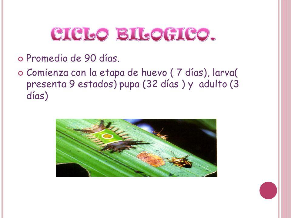Promedio de 90 días. Comienza con la etapa de huevo ( 7 días), larva( presenta 9 estados) pupa (32 días ) y adulto (3 días)