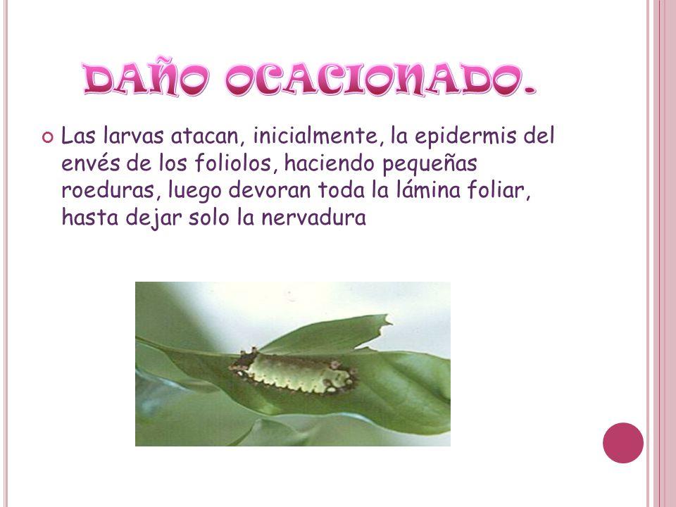 Las larvas atacan, inicialmente, la epidermis del envés de los foliolos, haciendo pequeñas roeduras, luego devoran toda la lámina foliar, hasta dejar