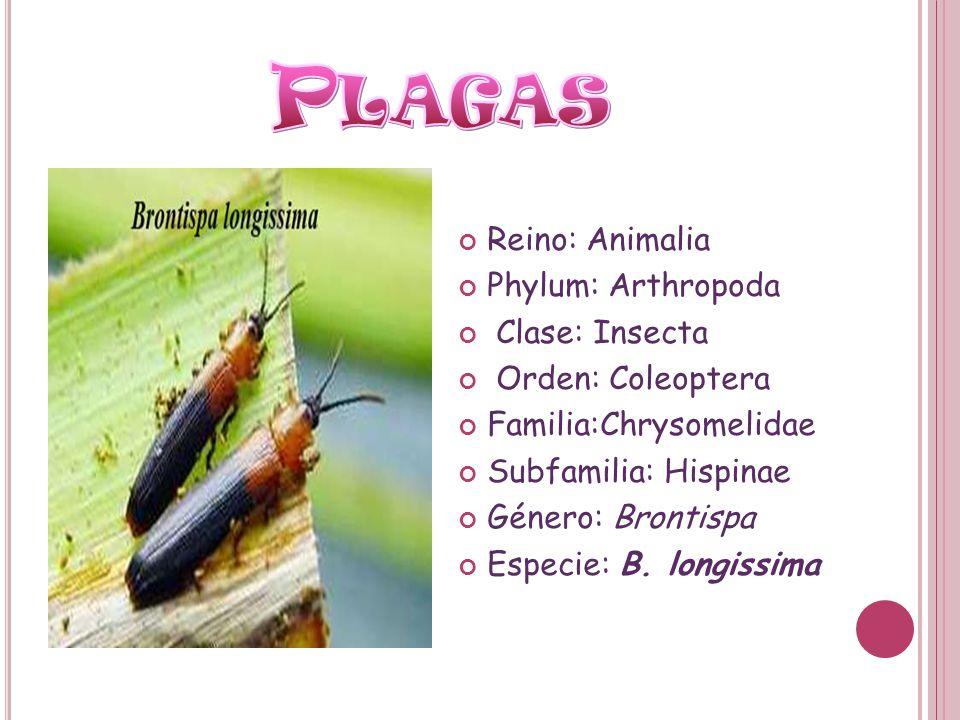 Reino: Animalia Phylum: Arthropoda Clase: Insecta Orden: Coleoptera Familia:Chrysomelidae Subfamilia: Hispinae Género: Brontispa Especie: B. longissim
