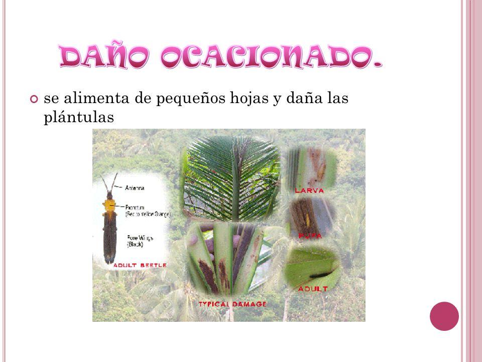 se alimenta de pequeños hojas y daña las plántulas
