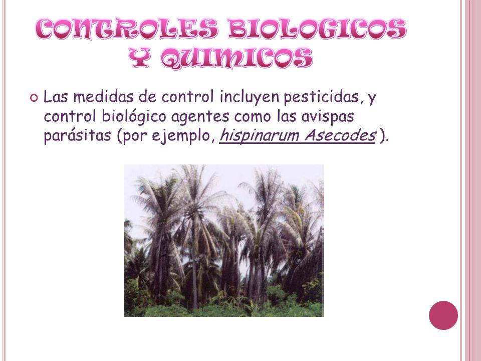 Las medidas de control incluyen pesticidas, y control biológico agentes como las avispas parásitas (por ejemplo, hispinarum Asecodes ).