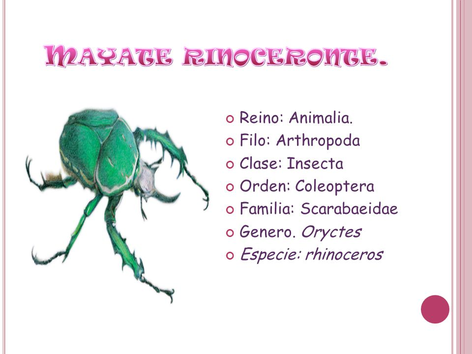 Reino: Animalia. Filo: Arthropoda Clase: Insecta Orden: Coleoptera Familia: Scarabaeidae Genero. Oryctes Especie: rhinoceros