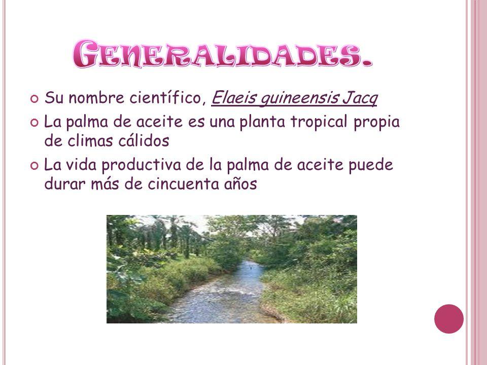 Su nombre científico, Elaeis guineensis Jacq La palma de aceite es una planta tropical propia de climas cálidos La vida productiva de la palma de acei