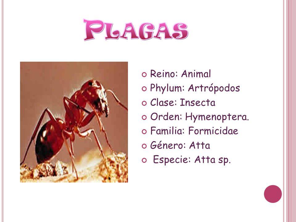 Reino: Animal Phylum: Artrópodos Clase: Insecta Orden: Hymenoptera. Familia: Formicidae Género: Atta Especie: Atta sp.