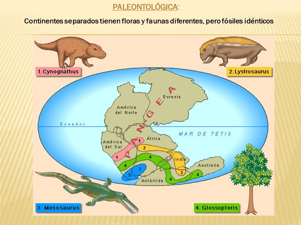 PALEONTOLÓGICA: Continentes separados tienen floras y faunas diferentes, pero fósiles idénticos