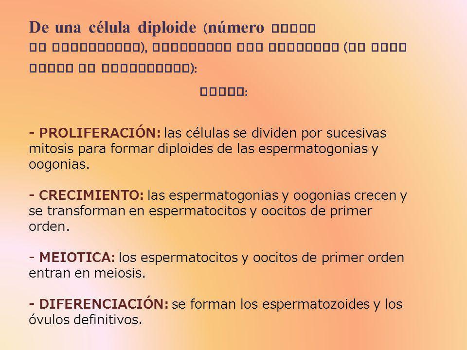 ] ] ] ] Espermatogonias Espermatocitos de primer orden Espermatocitos de segundo orden Espermátidas Espermatozoides Cuando llega la pubertad, se comienzan a dividir por mitosis y dan lugar a las espermatogonias.