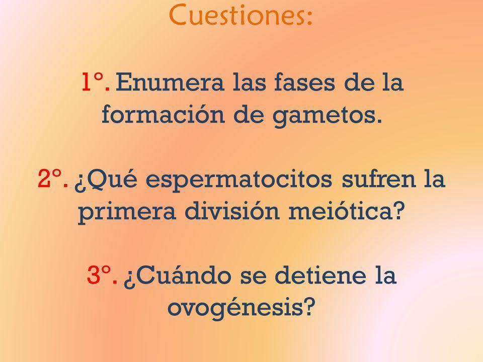 Cuestiones: 1º. Enumera las fases de la formación de gametos. 2º. ¿Qué espermatocitos sufren la primera división meiótica? 3º. ¿Cuándo se detiene la o