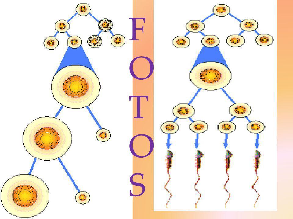 1º.Proliferación, crecimiento, meiótica y diferenciación.