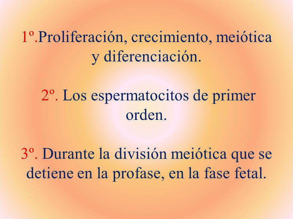 1º.Proliferación, crecimiento, meiótica y diferenciación. 2º. Los espermatocitos de primer orden. 3º. Durante la división meiótica que se detiene en l