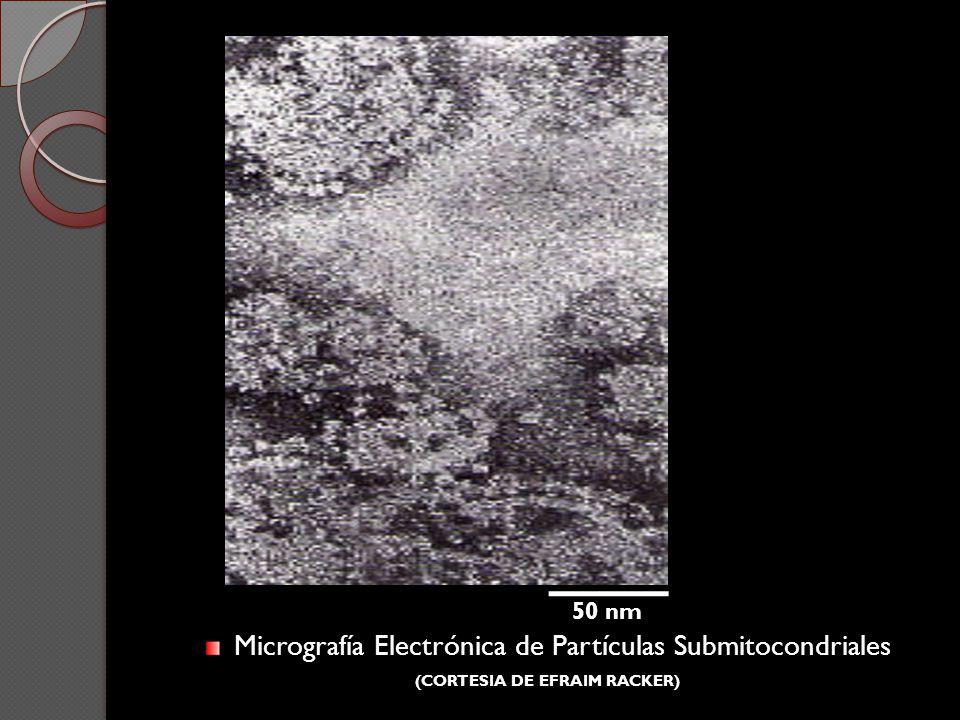 Micrografía Electrónica de Partículas Submitocondriales (CORTESIA DE EFRAIM RACKER) 50 nm