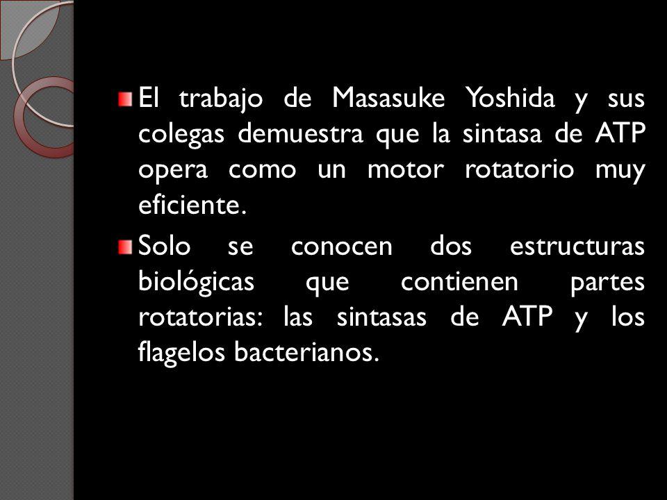 El trabajo de Masasuke Yoshida y sus colegas demuestra que la sintasa de ATP opera como un motor rotatorio muy eficiente. Solo se conocen dos estructu
