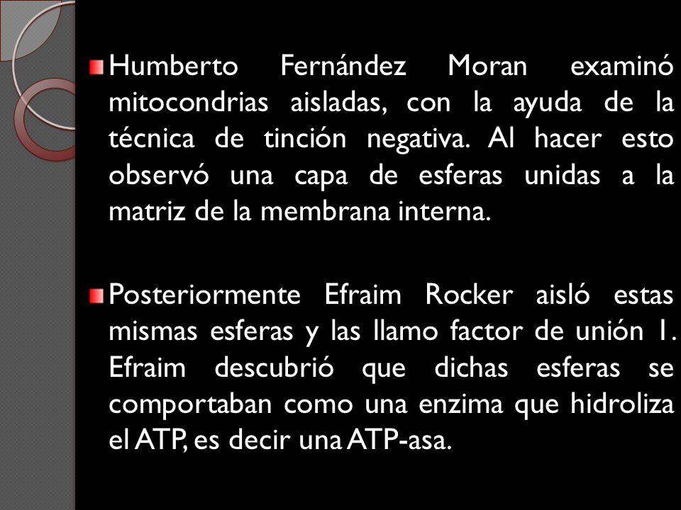 Humberto Fernández Moran examinó mitocondrias aisladas, con la ayuda de la técnica de tinción negativa. Al hacer esto observó una capa de esferas unid
