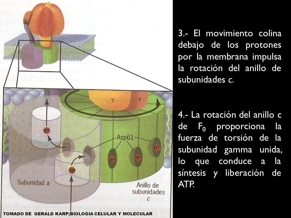 3.- El movimiento colina debajo de los protones por la membrana impulsa la rotación del anillo de subunidades c. 4.- La rotación del anillo c de F 0 p