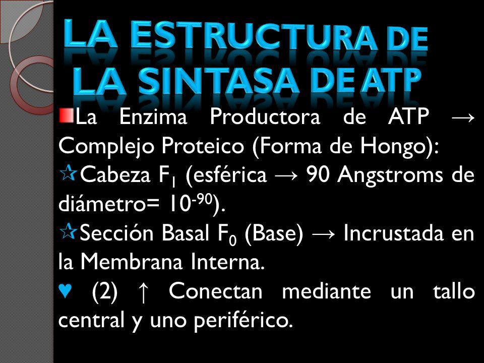 La Enzima Productora de ATP Complejo Proteico (Forma de Hongo): Cabeza F 1 (esférica 90 Angstroms de diámetro= 10 -90 ). Sección Basal F 0 (Base) Incr