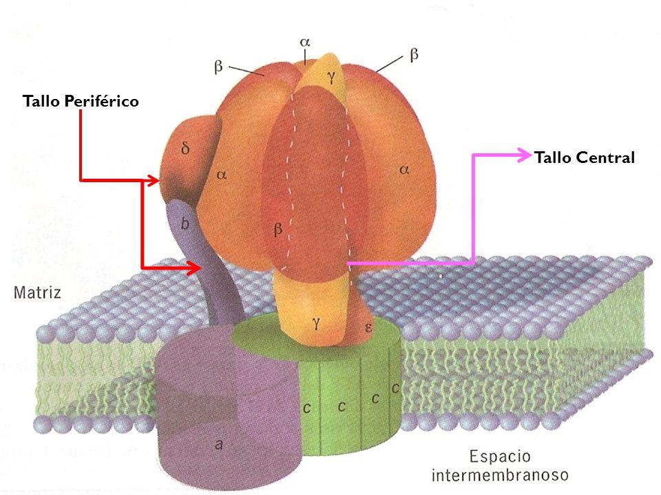 Sus porciones (Sintasa de ATP Bacteriana y Mitocondria) 5 polipéptidos con esquiometría α 3 β 3 δγε.
