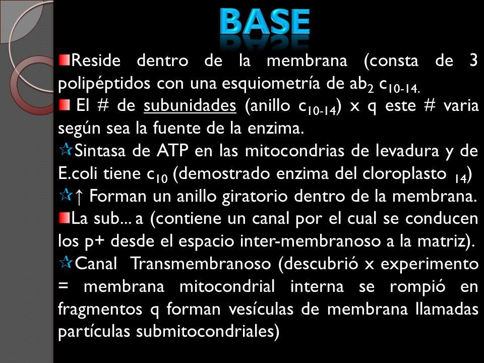 Reside dentro de la membrana (consta de 3 polipéptidos con una esquiometría de ab 2 c 10-14. El # de subunidades (anillo c 10-14 ) x q este # varia se