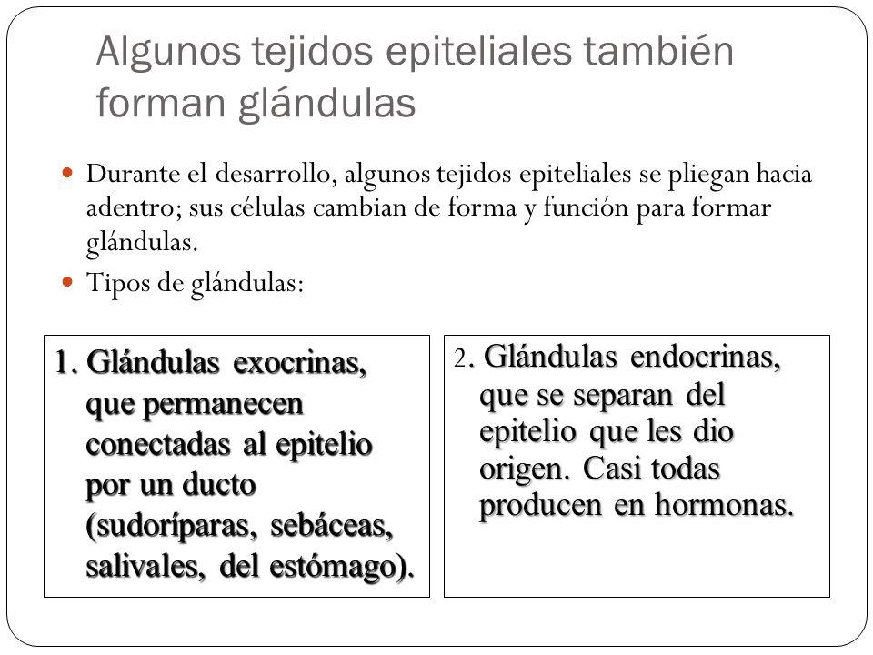 Algunos tejidos epiteliales también forman glándulas Durante el desarrollo, algunos tejidos epiteliales se pliegan hacia adentro; sus células cambian