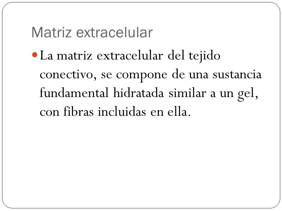 Matriz extracelular La matriz extracelular del tejido conectivo, se compone de una sustancia fundamental hidratada similar a un gel, con fibras inclui